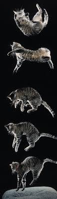 paraquedista gato medicina felina