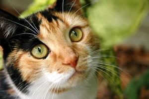 gata calico medicina felina