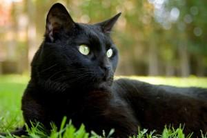 preto gato medicina felina