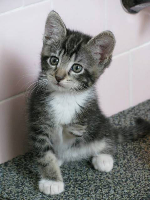 amputado medicina felina